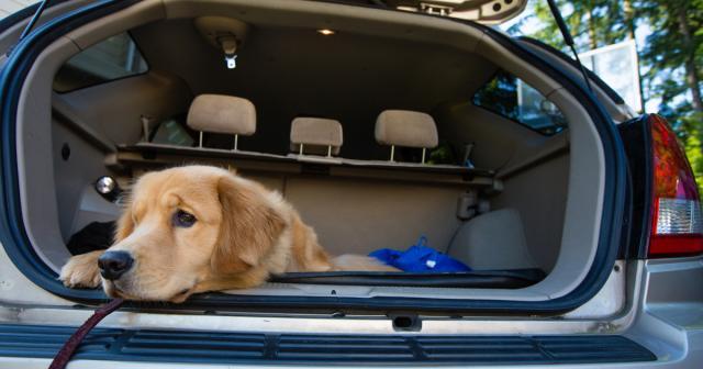 Risultati immagini per cinetosi cane